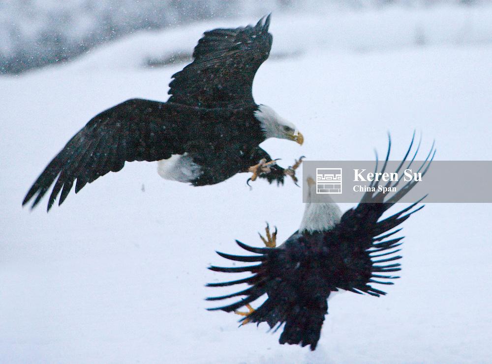 Bald Eagle fighting on snow, Haines, Alaksa, USA