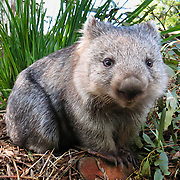 "A Common Wombat (Vombatus ursinus) is shown at Bonorong Wildlife Park, Briggs Road, Brighton, Tasmania, Australia. Wombats are burrowing grass eaters, and can be thought of as the marsupial ecological equivalent of a bear. Wombats are found in forested, mountainous, and heathland areas of southeast Australia including Tasmania, plus an isolated group in Epping Forest National Park in central Queensland. The three living species of wombats are marsupial mammals in the Vombatidae family. They dig extensive burrow systems with rodent-like front teeth and powerful claws. Their unusual backwards-facing pouch avoids gathering dirt onto its young. Although mainly crepuscular and nocturnal, wombats also venture out to feed on cool or overcast days. Wombats are herbivores, mostly eating grasses, sedges, herbs, bark and roots. Published on Australian geocaching coin 2010, displayed in support of Wilder Foundation 2009, 2010, and exhibited at Oceanario de Lisboa, Portugal 2007. Published in ""Light Travel: Photography on the Go"" book by Tom Dempsey 2009, 2010."