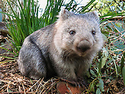 """A Common Wombat (Vombatus ursinus) is shown at Bonorong Wildlife Park, Briggs Road, Brighton, Tasmania, Australia. Wombats are burrowing grass eaters, and can be thought of as the marsupial ecological equivalent of a bear. Wombats are found in forested, mountainous, and heathland areas of southeast Australia including Tasmania, plus an isolated group in Epping Forest National Park in central Queensland. The three living species of wombats are marsupial mammals in the Vombatidae family. They dig extensive burrow systems with rodent-like front teeth and powerful claws. Their unusual backwards-facing pouch avoids gathering dirt onto its young. Although mainly crepuscular and nocturnal, wombats also venture out to feed on cool or overcast days. Wombats are herbivores, mostly eating grasses, sedges, herbs, bark and roots. Published on Australian geocaching coin 2010, displayed in support of Wilder Foundation 2009, 2010, and exhibited at Oceanario de Lisboa, Portugal 2007. Published in """"Light Travel: Photography on the Go"""" book by Tom Dempsey 2009, 2010."""