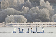 Whooper swans (cygnus cygnus) on partially frozen Loch Insh, Cairngorms National Park, Scotland.