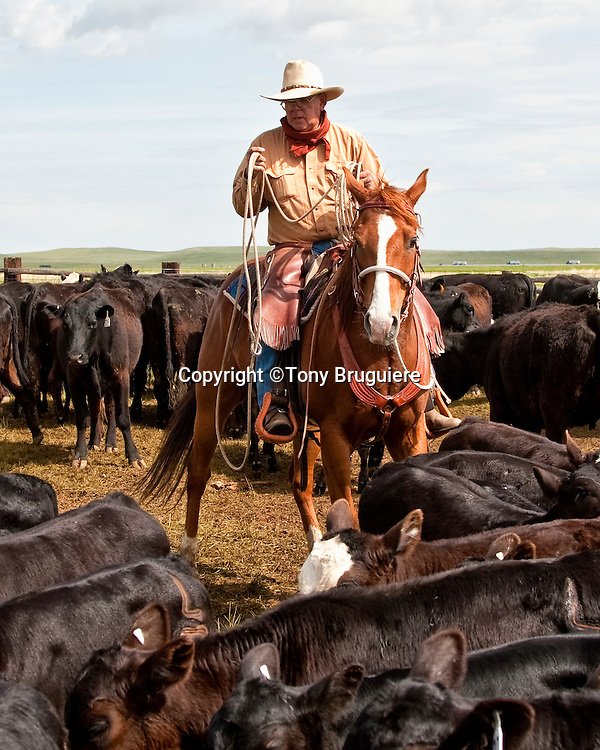 The rope or lariat is the cowboys most effective working tool when it comes to controlling cattle.  Bill Daniels prepares his loop to catch a calf for branding.