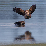 Two juvenile bald eagles (Haliaeetus leucocephalus) fight in the Hood Canal near Seaback, Washington. Hundreds of bald eagles congregate in the area in the early summer to feast on migrating midshipman fish that get trapped in oyster beds at low tide.