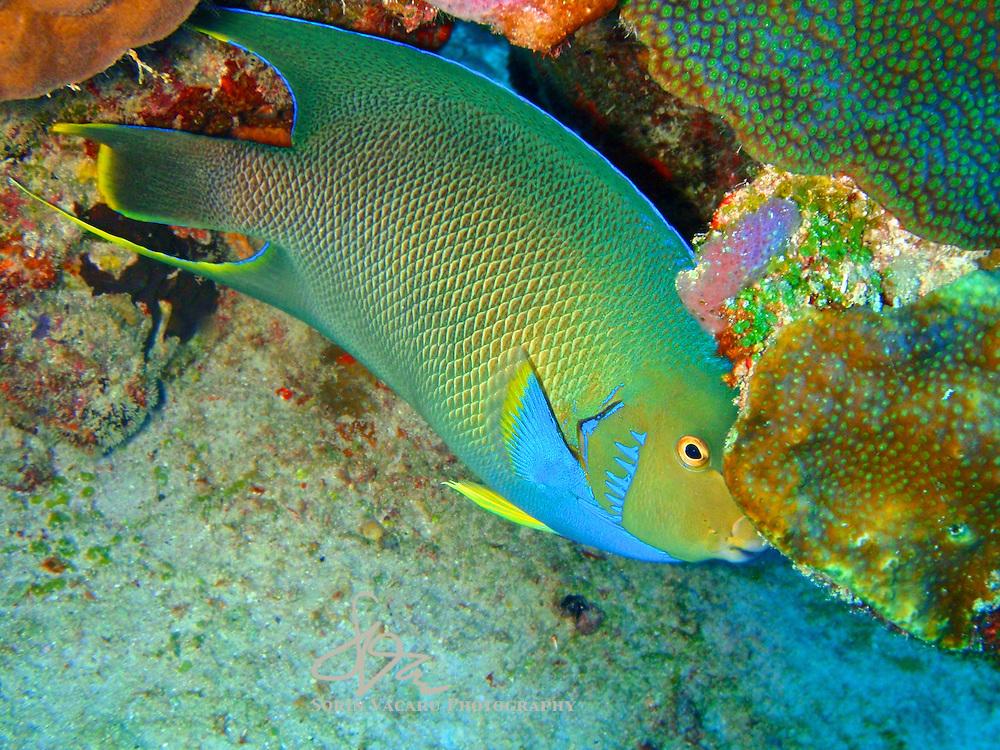 Queen Angelfish hiding in coral reef.