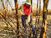 Sugar Cane Harvest 2016