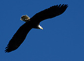 Eagles   Raptors   Birds