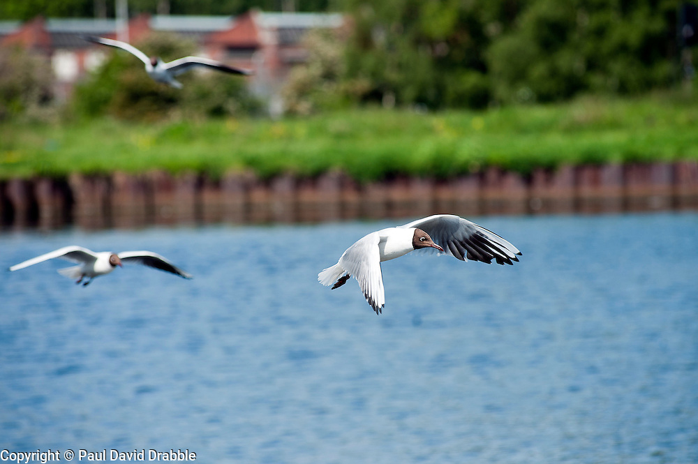 Gulls fly in over the lake close to Parkgate Shopping Centre in the centre of Rotherham.<br />