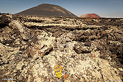 A tiny succulent plant survives tenaciously in this sun baked, hot and arid volcanic lava field, with Timanfaya (Fire Mountain) National Park in the background.