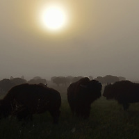 Bison herd in the fog on the Great Plains of Montana at American Prairie Reserve. South of Malta in Phillips County, Montana.