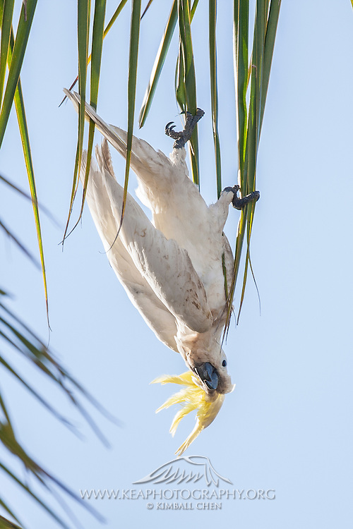 """""""Who needs monkey bars?  Every leaf, branch, tree is a monkey bar to me!""""  A sulfur-crested cockatoo hangs upside down from a palm frond in Australia."""
