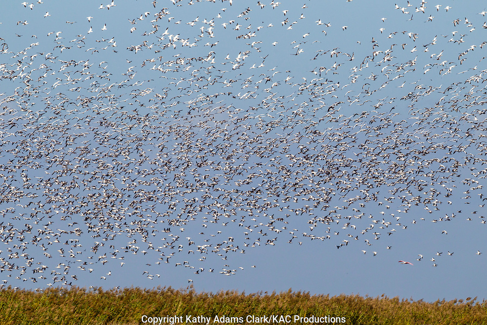 Snow geese, snow goose, Chen caerulescens, flocks, migratory flock, Anahuac National Wildlife Refuge, Texas, upper Texas coast, autumn