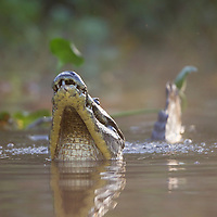 Spectacled (White or common) Caiman (Caiman crocodilus)j, Pantanal, Brazil