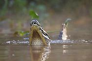 Spectacled (White or common) Caiman (Caiman crocodilus)j, Pantanal, Brazil