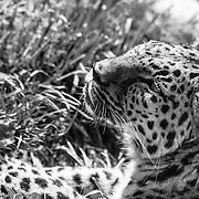 Soul Survival: Amur Leopard (Scientific name: Panthera pardus orientalis)<br /> Critically endangered/Species Survival Plan