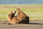 Alaskan Brown Bear,Ursus middendorffi, stretched out on river's edge, Katmai National Park, Alaska<br /> <br /> play behavior