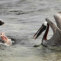 A brown pelican and a sea lion fight over the remains of a dead baby sea lion in the waters off of San Cristobal island on Galapagos on 7/10/09.