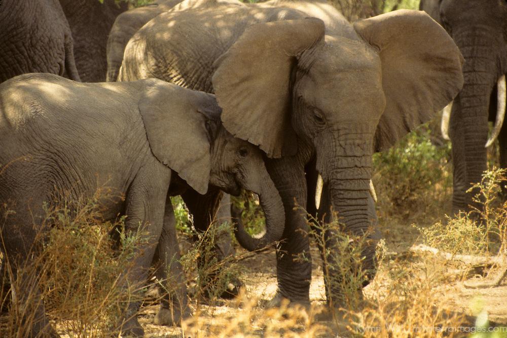 Africa, Tanzania, Lake Manyara. A mother and young elephant.