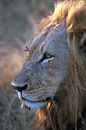 Lion .Kruger NP.South Africa