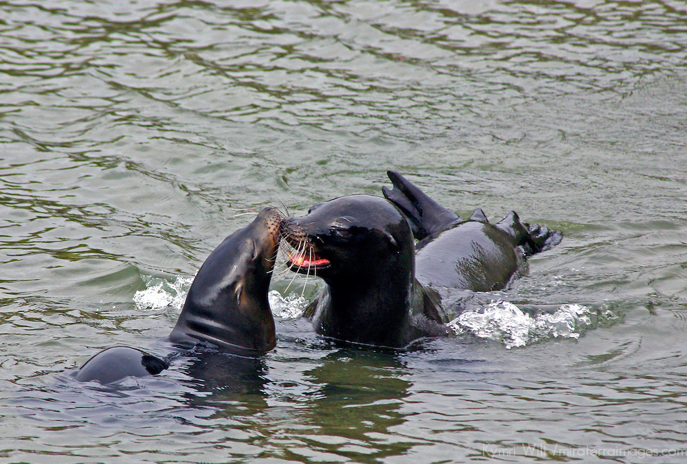 South America, Ecuador, Galapagos Islands, Punta Espinoza, Fernandina Island. A pair of sea lions flirt and play in the waters off Fernandina Island.