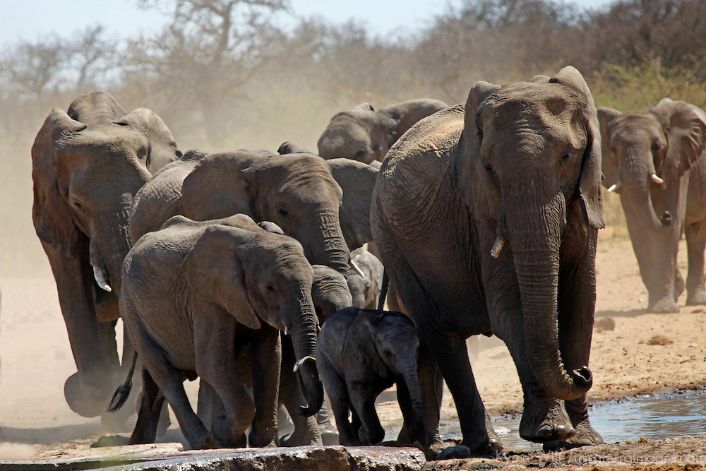 Africa, Namibia, Etosha. Elephants gather at a water hole in Etosha National Park.