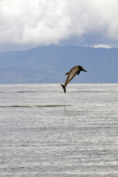 Central America, Costa Rica, Golfo Dulce. Pantropical Spotted Dolphin jumps and plays in the Golfo Dulce.