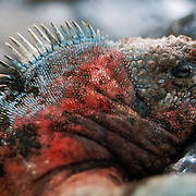 A Galapagos Marine Iguana (Amblyrhynchus cristatus) displays red and cyan breeding colors on the Galápagos Islands, Ecuador, South America. Marine Iguanas, the world's only sea-going lizard species, are found nowhere else on earth. Marine Iguanas feed almost exclusively on marine algae, expelling the excess salt from nasal glands while basking in the sun, coating their faces with white. Marine Iguanas live on the rocky shore or sometimes on mangrove beaches or marshes. Most adults are black, some grey, and the young have a lighter colored dorsal stripe. The somber tones allow the species to rapidly absorb the warm rays of the sun to minimize the period of lethargy after emerging from the frigid water, which is cooled by the Humboldt Current. Breeding-season adult males on the southern islands are the most colorful and will acquire reddish and teal-green colors, while Santa Cruz males are brick red and black, and Fernandina males are brick red and dull greenish. The iguanas living on the islands of Fernandina and Isabela (named for the famous rulers of Spain) are the largest found anywhere in the Galápagos. The smallest iguanas are found on Genovesa Island. Fernandina Island was named in honor of King Ferdinand II of Aragon, who sponsored the voyage of Columbus.