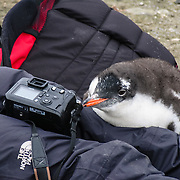 "A curious Gentoo Penguin  (Pygoscelis papua) chick inspects a tourist on Aicho Island, Antarctica. ""Don't approach penguins closer than 15 feet,"" says an Antarctic tourism rule in 2005. But if you lie down on the ground more than 15 feet away, a curious Gentoo Penguin chick may approach you. An adult Gentoo Penguin has a bright orange-red bill and a wide white stripe extending across the top of its head. Chicks have grey backs with white fronts. Of all penguins, Gentoos have the most prominent tail, which sweeps from side to side as they waddle on land, hence the scientific name Pygoscelis, ""rump-tailed."" As the the third largest species of penguin, adult Gentoos reach 51 to 90 cm (20-36 in) high. They are the fastest underwater swimming penguin, reaching speeds of 36 km per hour."