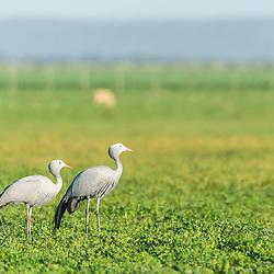 A Blue Crane pair stands in a green farm field, Agulhas Plain, Overberg, Western Cape, South Africa