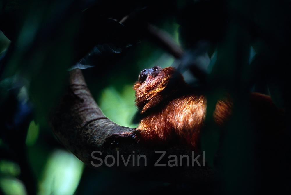 The Golden Lion Tamarin's (Leontopithecus rosalia) life in the canopy of the rainforest requires careful attention to all directions. | Ihr Leben im Geäst der Urwaldbäume verlangt von den Löwenäffchen (Leontopithecus rosalia) höchste Wachsamkeit in alle Richtungen.