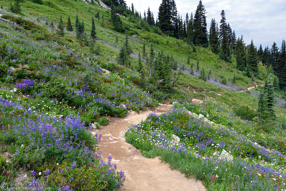 Wildflowers (mostly Lupines and Sitka Valerian) line the Naches Peak Loop Trail near Mount Rainier National Park in Washington State, USA.  This half of the loop is just outside of the park boundaries, but the return part of the loop is within Mount Rainier National Park, so I included it as part of the park regardless.