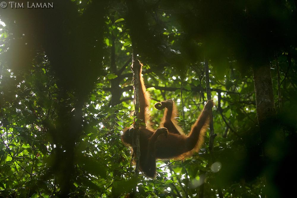 Bornean Orangutan <br />Wurmbii Sub-species<br />(Pongo pygmaeus wurmbii)<br /><br />Adult female Walimah, with severely injured foot.<br /><br />Gunung Palung Orangutan Project<br />Cabang Panti Research Station<br />Gunung Palung National Park<br />West Kalimantan Province<br />Island of Borneo<br />Indonesia