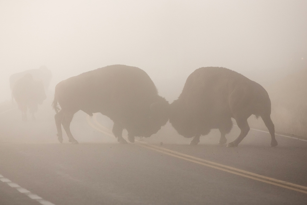 Two bull bison battle for dominance in the thick fog of Yellowstone National Park. During these heated times, even the road can become a battleground.