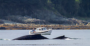 A fishing boat watches as a mother and humpback whale calf surface