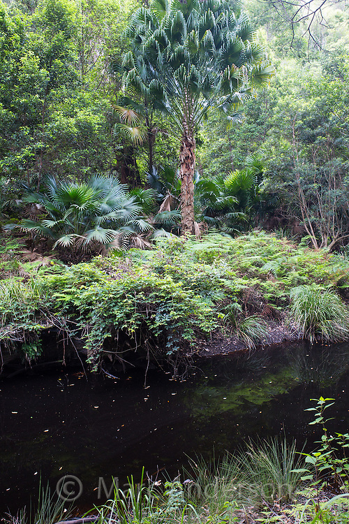 Temperate rainforest by a pond in the Royal National Park, Australia