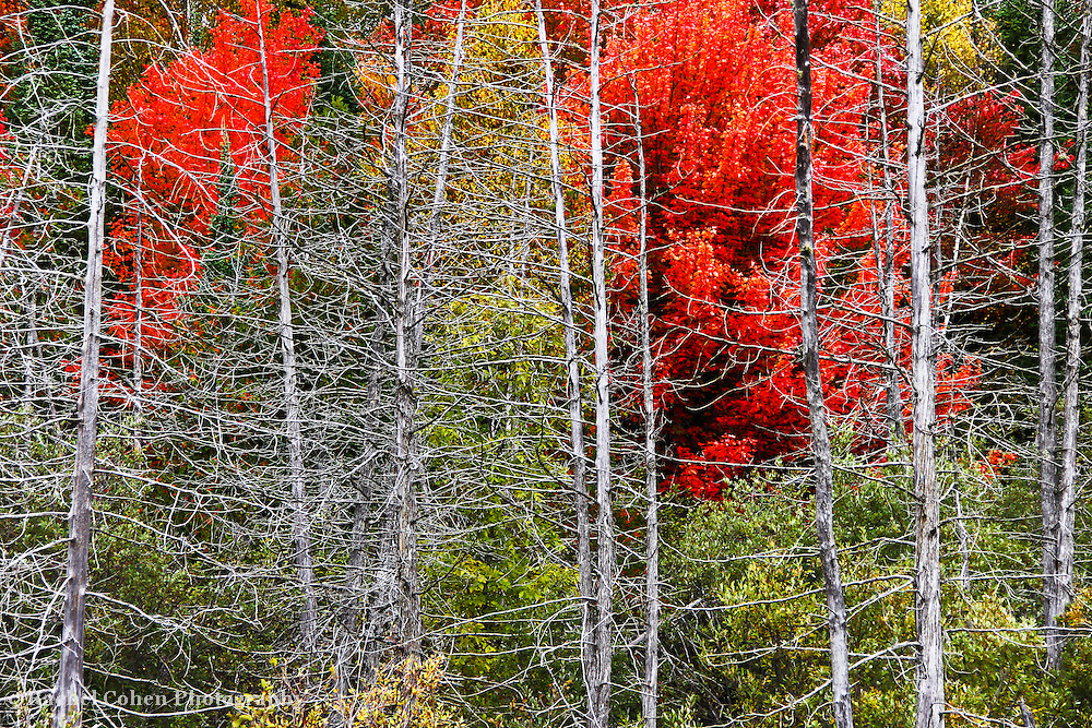 &quot;Living Among the Dead&quot;<br /> <br /> Beautiful bright fall foliage tucked behind a row of bare skeletal trees left from a fire long ago!<br /> <br /> Autumn Landscapes of Michigan by Rachel Cohen