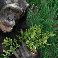 Rescue Chimpancees ( Pan troglodytes )  from Burundi and Uganda are brought to the Sweetwater Rehabilitacion Center in Northen Kenya.