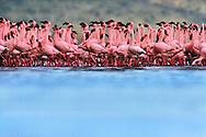 Lesser flamingo mass courtship, Phoenicopterus minor, Lake Nakuru National Park, Kenya