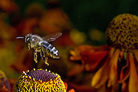 Honey Bee flying over flowers (Apis mellifera). Insect in Flight, High Speed Photographic Technique Image by Andres Morya