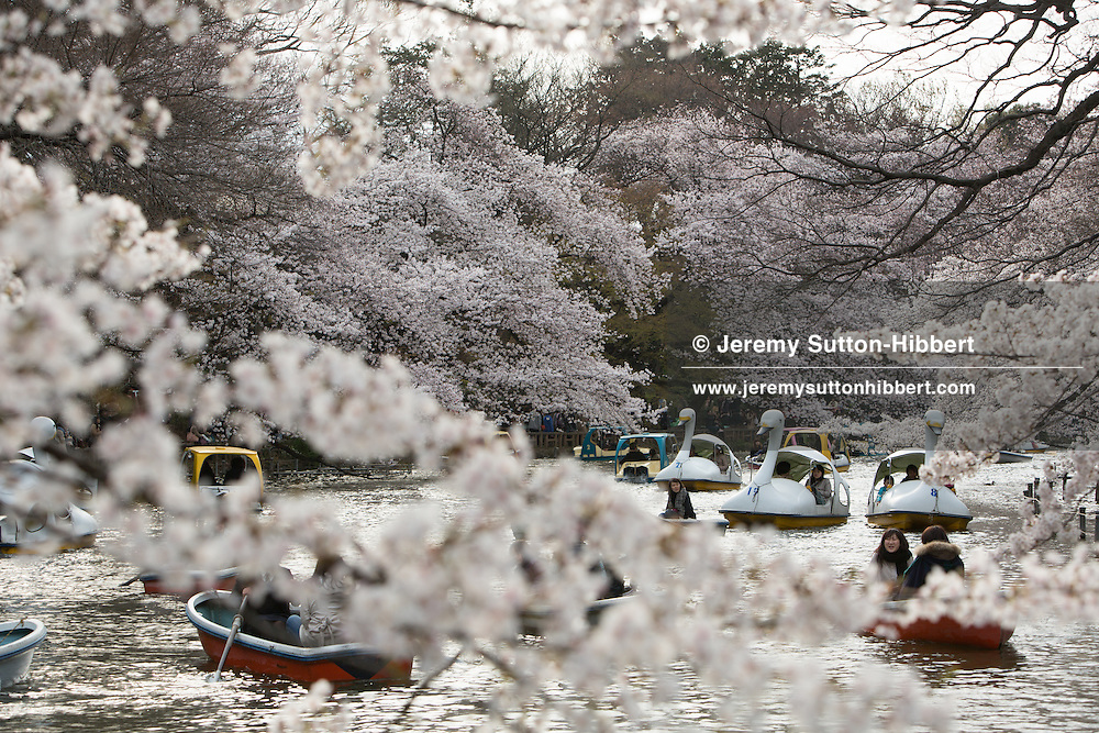 Japanese people enjoy the cherry blossom in their annual 'o-hanami' (flower viewing parties), in Inokashira Park, in Tokyo, Japan on Saturday 7th April 2012.