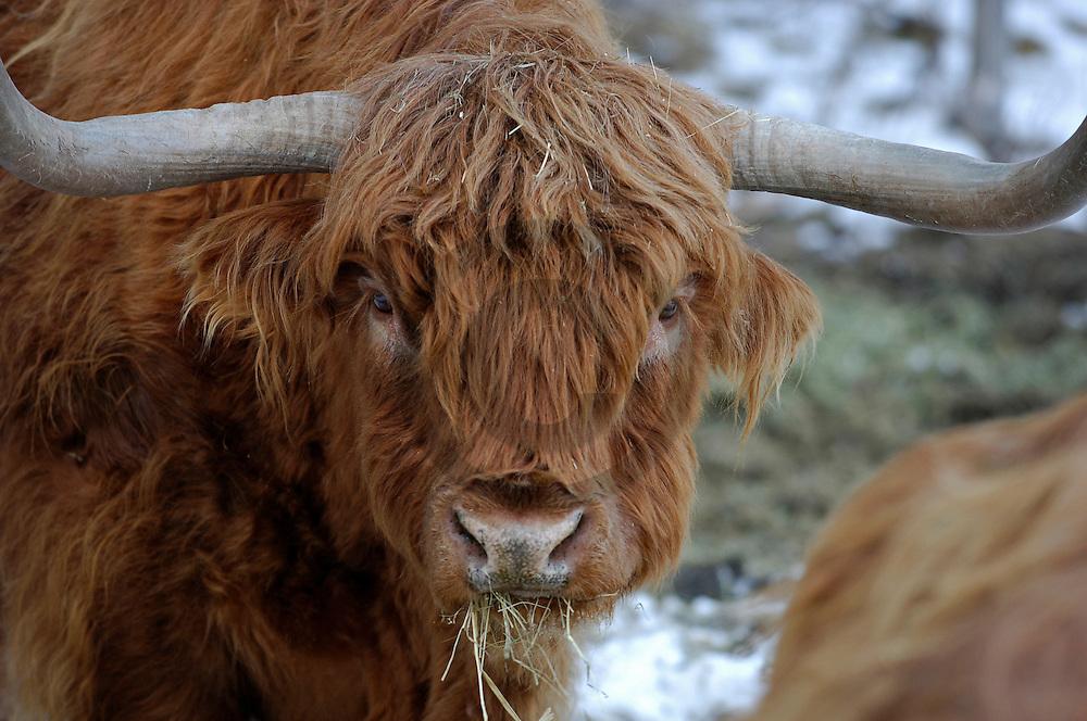 17/03/06 - FOURNOL - PUY DE DOME - FRANCE - Introduction d Highland Cattle dans une zone naturelle protegee pour lutter contre l embroussaillement. Prairie tourbeuse du PEAGHIER - Photo Jerome CHABANNE
