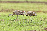 Sandhill Cranes (Grus canadensis) foraging at Creamer's Field Migratory Waterfowl Refuge in Fairbanks in Interior Alaska. Summer. Afternoon.