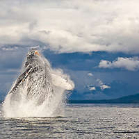 Humpback Whale Breaching, Megaptera novaeangliae, breaching, Alska, USA <br /> Other common name: hump-backed whale. Humpback whales are baleen whales. They migrate to cold water feeding grounds during the summer and then to warm water breeding grounds in the winter. Humpbacks are found throughout the world's oceans.