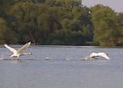 Swans at the Elbe river. Zwei Schwäne erheben sich aus der Elbe bei Gartow in die Lüfte.