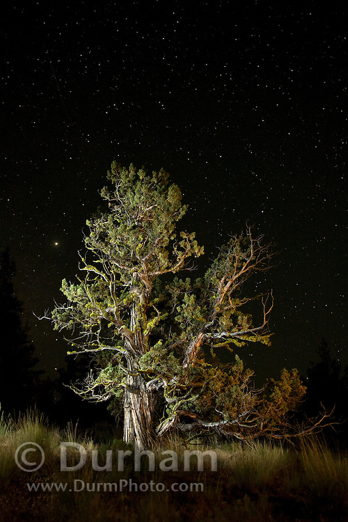 A bat biologist  (juniperus occidentalis) photographed at night in the Ochoco National Forest, Oregon.