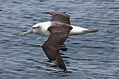 Shy Albatross Pictures - Photos