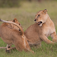 A pair of African lions playing in the grass, Okavango Delta, Botswana, Africa