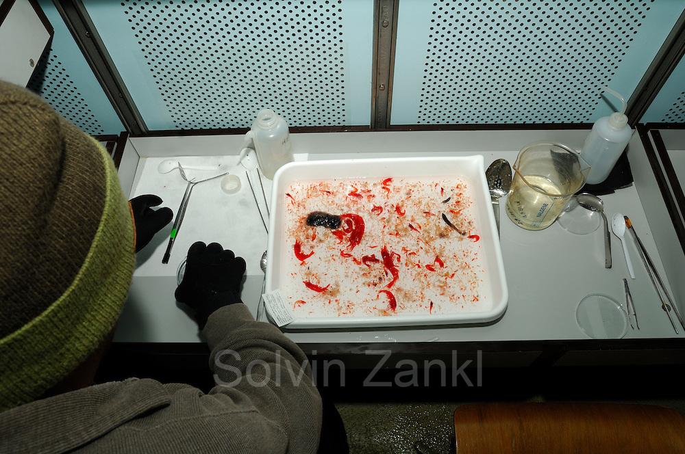 Assorting of the samples in the refrigerated hold<br />  | Die Proben aus den Fangbeh&auml;ltern des Netzes werden in flache Schalen &uuml;berf&uuml;hrt und sortiert. Bei allen Arbeitsschritten muss eine Temperatur von 4 Grad beibehalten werden, um die Zooplankton-Organismen so gut es geht zu erhalten. Die Arbeitspl&auml;tze der Wissenschaftler sind aus diesem Grund in K&uuml;hlcontainern an Bord der &amp;quot;Polarstern&amp;quot; eingerichtet. Dieser Fang aus 3.000 bis 2.000 m Tiefe besteht unter anderem aus verschiedenen Garnelen-Arten. Die hier so auff&auml;llige Rotf&auml;rbung ist in der Tiefe eine perfekte Tarnung, da rotes Licht eine sehr geringe Eindringtiefe hat und diese Farbe somit weiter unten geradezu unsichtbar wird.