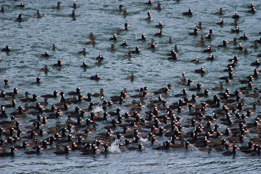 Hundreds of surf scoters (Melanitta perspicillata) swim in the Lynn Canal near Haines.