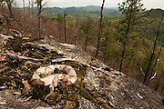 Copperhead (Agkistrodon contortrix)<br /> CAPTIVE<br /> Blue Ridge Mountains in back. Northern Georgia<br /> USA<br /> HABITAT &amp; RANGE: Forested habitats but most common on rocky, wooded hillsides in the mountains and along swamp and river edges. South eastern USA