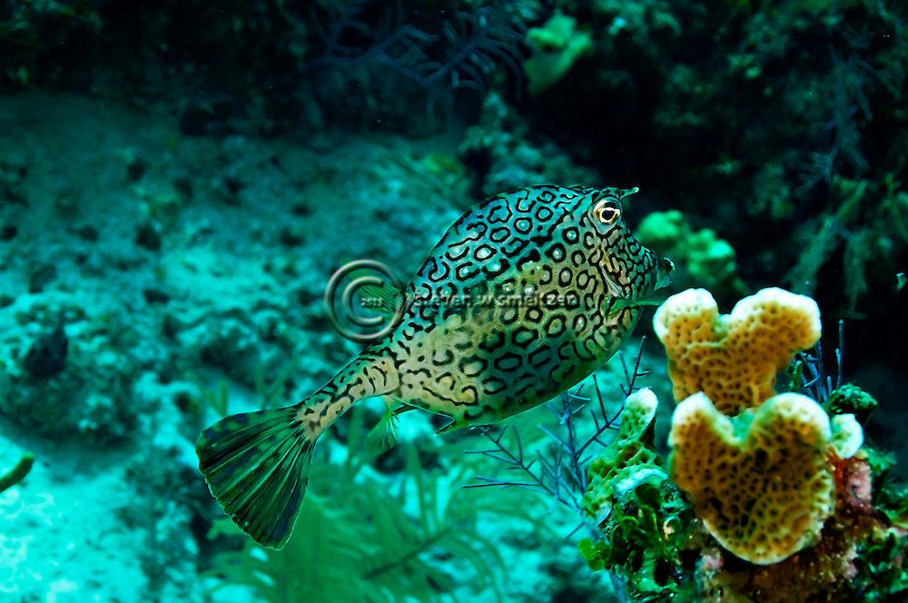 Honeycomb Cowfish, Acanthostracion polygonius, Poey, 1876, Grand Cayman