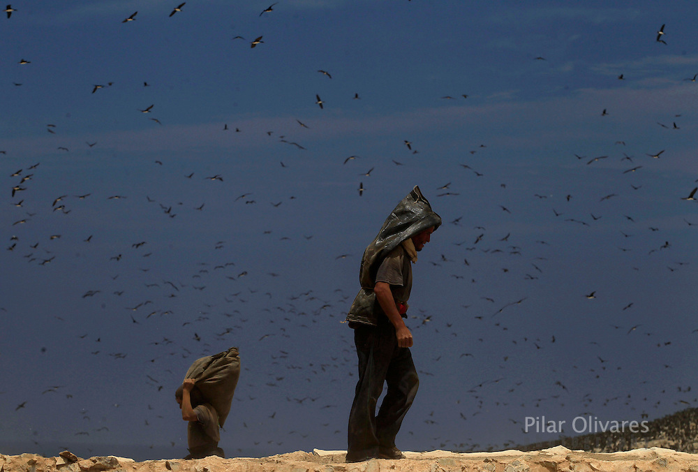 A worker (C) walks in front of Guanay Cormorant birds on Ballestas island, south of Lima, October 9, 2011. Ballestas, like the other 21 islands along the Peruvian coast, is home to nearly 4 million migratory birds such as guanays, boobies and pelicans whose excrement make up the world's finest natural fertilizer. The bird dung, also known as guano, reached its greatest economic importance in the 19th century as a coveted resource being exported to the United States, England and France. With a current annual production of 20 thousand tons, Peru hopes to benefit mostly small farmers by boosting organic agriculture, the Rural Agrarian Productive Development Program (Agrorural) reported.